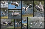 Cranes Prints - Sandhills Playing in the Pond Collage Print by Carol Groenen