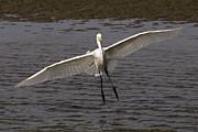 Tim Moore - Sandlake Great Egret
