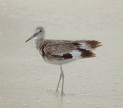 Shorebird Photos - Sandpiper by Kim Hojnacki
