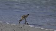 Claudette DeRossett - Sandpiper walking on...
