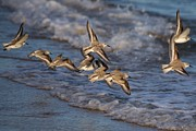Mashpee Posters - Sandpipers in Flight Poster by Allan Morrison