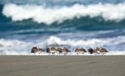 Shore Birds Posters - Sandpipers Keeping Warm on a Very Cold Day at the Beach Poster by Michelle Wiarda