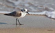 Tiny Bird Photos - Sandpipers Secrets by Michelle Wiarda