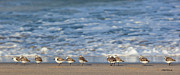 Sandpipers Prints - Sandpipers Sleeping by the Sea Print by Michelle Wiarda