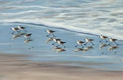 Sandpipers Prints - Sandpipers Print by Tina Obrien