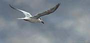 Photoshop Digital Art Posters - Sandwich Tern Poster by Aaron Blaise