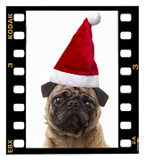 Pug Framed Prints - Santa Pug - Canine Christmas Framed Print by Edward Fielding