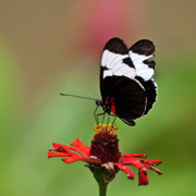 Blooms  Butterflies Photo Posters - Sapho longwing red oriented Poster by Heiko Koehrer-Wagner