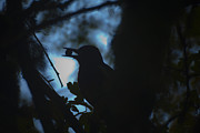 Sillouette Originals - Sapsucker with nut by Graham Foulkes