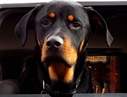 Cindy Croal - Sarge-German Rottweiler