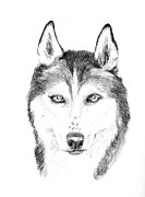 Husky Drawings Prints - Sasha Print by Jane Baribeau