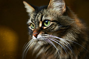 Staring Cat Photos - Sasha Ruminating by Fraida Gutovich
