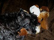 Cairn Terrier Photos - Sashas Stuffy by Nicki Bennett