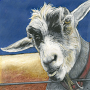 Goat Drawings Posters - Sassy Poster by Tracy Anderson