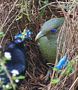 Margaret Saheed - Satin Bowerbirds - The...