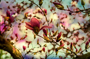 Photo Captures by Jeffery  - Saucer Magnolia Tree...