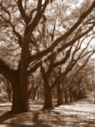 Light And Shadows Framed Prints - Savannah Sepia - Glorious Live Oaks Framed Print by Carol Groenen