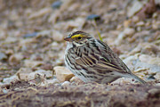 Sparrow Prints - Savannah Sparrow Print by Bill Pevlor
