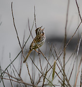 Birders Framed Prints - Savannah Sparrow Framed Print by Marty Saccone