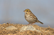 Monic LaRochelle - Savannah sparrow