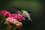 Humming Bird Framed Prints - Savoring The Moment Framed Print by Christina Rollo