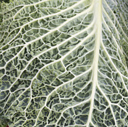 Agronomy Framed Prints - Savoy Cabbage Leaf Framed Print by John Trax