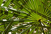 Saw Palmetto Photos - Saw Palmetto by Jim Finch