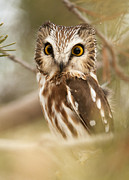Amy Gerber - Saw Whet Owl