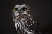 Saw Framed Prints - Saw Whet Owl Framed Print by Charline Xia