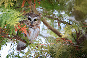 Saw Art - Saw-Whet Owl by Everet Regal