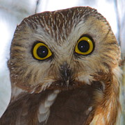 Owl Metal Prints - Saw-whet Owl Portrait Metal Print by Bruce J Robinson