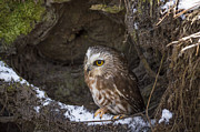 Tracy Munson - Saw-whet Owl