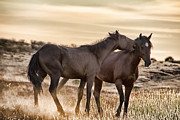 Wild Horses Framed Prints - Saying it Softly Framed Print by Douglas Barnard