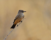 Flycatcher Photos - Says Phoebe by Tony Beck