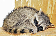 Scared Raccoon Print by Susan Leggett