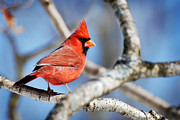 Bird Watching Posters - Scarlet Blaze Cardinal Poster by Christina Rollo