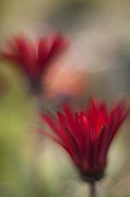 Painterly Photos - Scarlet Gerberas by Mike Reid