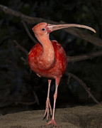Gerald Murray Photography - Scarlet Ibis