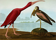 Red Claws Posters - Scarlet Ibis Poster by John James Audubon