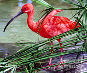Jacksonville Framed Prints - Scarlet Ibis Framed Print by Millard H. Sharp