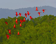 Mangrove Forest Photo Prints - Scarlet Ibis Print by Tony Beck