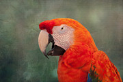 Macaw Photos - Scarlet Macaw by Kim Hojnacki