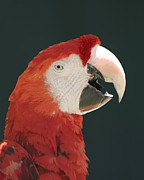 Bob and Jan Shriner - Scarlet Macaw Squawking