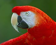 Macaw Prints - Scarlet Macaw Print by Tony Beck