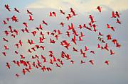 Scarlet Sky Print by Tony Beck