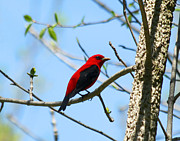 James Hammen - Scarlet Tanager
