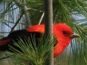 2009 Photo Prints - Scarlet Tanager Print by Nancy TeWinkel Lauren