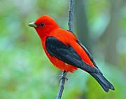 Rodney Campbell - Scarlet Tanager