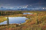 The Great One Prints - Scenic Of Bull Caribou And Tundra Pond Print by John Delapp