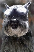 Pet Portraits Framed Prints - Schnauzer Portrait Framed Print by Enzie Shahmiri